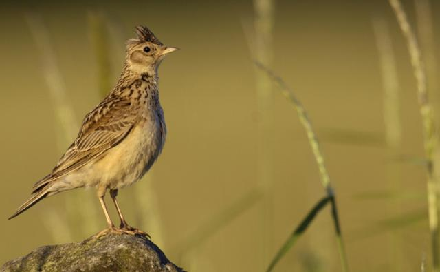 Skylark perched on a dry stone wall at dawn