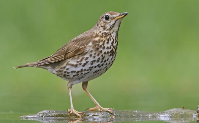 pictures of thrush