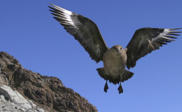 South polar skua flying towards camera