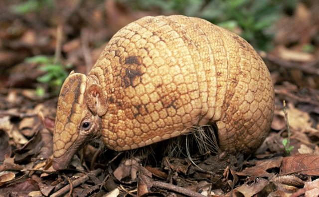 An armadillo on ground amongst leaf litter