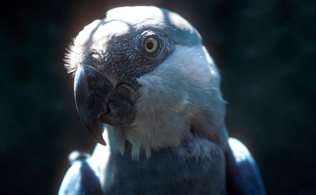 Portrait of a Spix's macaw