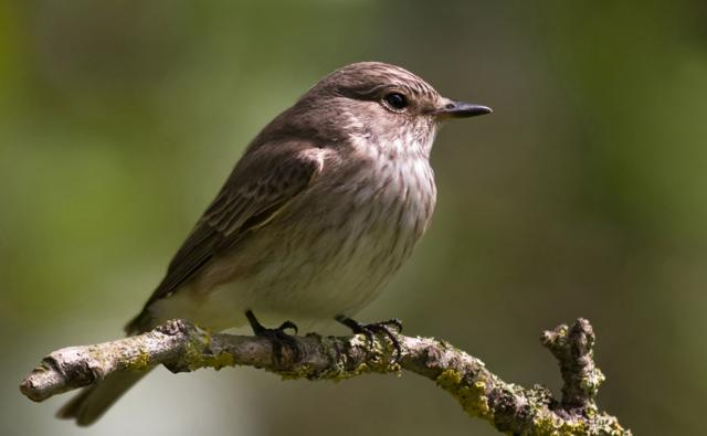 http://ichef.bbci.co.uk/naturelibrary/images/ic/credit/640x395/s/sp/spotted_flycatcher/spotted_flycatcher_1.jpg