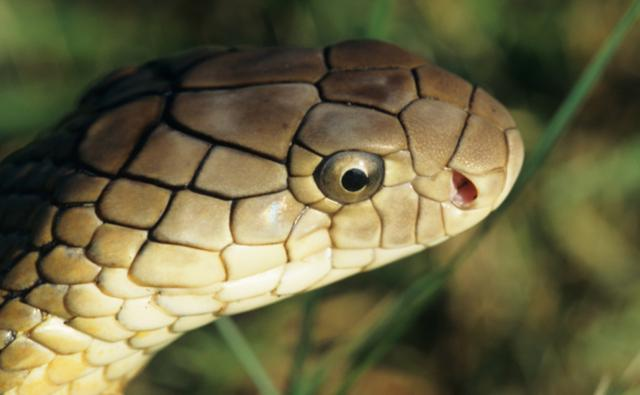 Close-up on the head of a king cobra