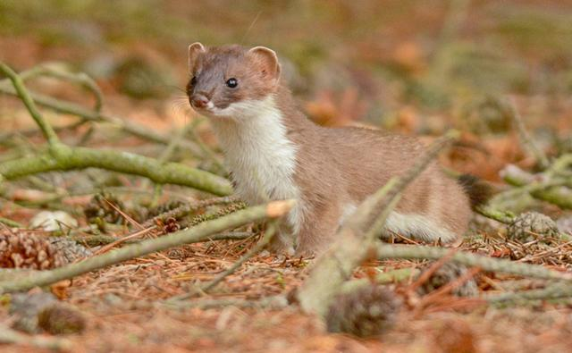 Alert stoat on woodland floor (c) Judi Mahon
