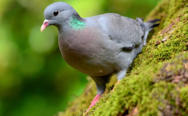 bbc nature stock dove videos news and facts