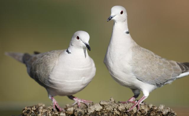 BBC Nature  Turtle doves videos news and facts
