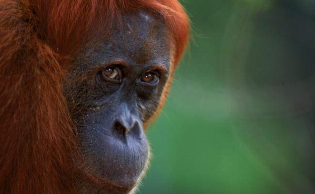 A female orangutan