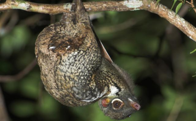 Malayan colugo flying lemur hanging from a branch resting