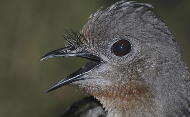 Close-up of the lyrebird with its beak open