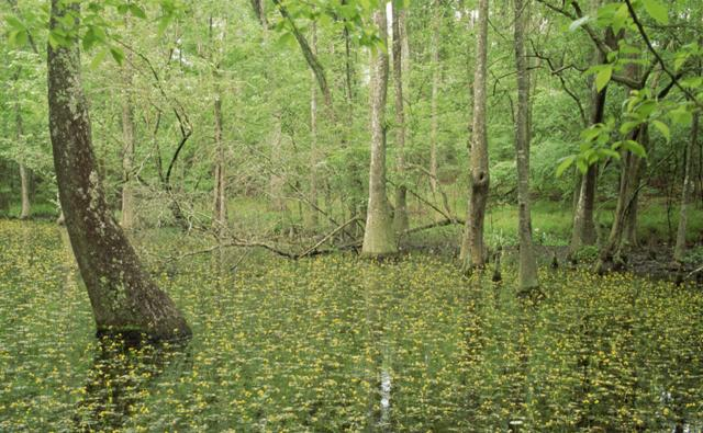 Cypress swamp with bladderwort flowers in the USA