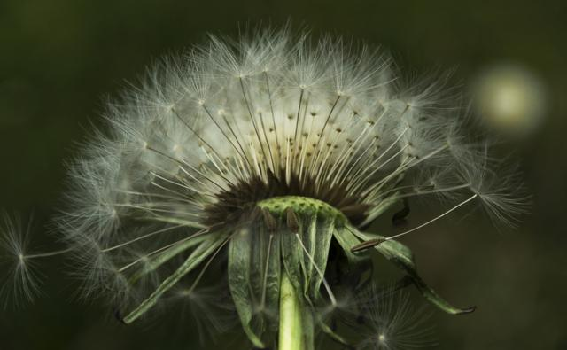 Close-up of wind blowing dandelion seeds (c) Katie Pillidge