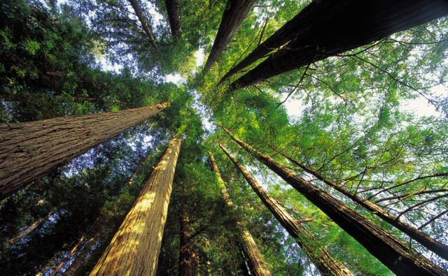 View up into the canopy of sequoia redwoods