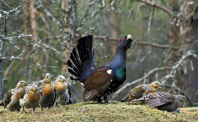 Male grouse surrounded by females