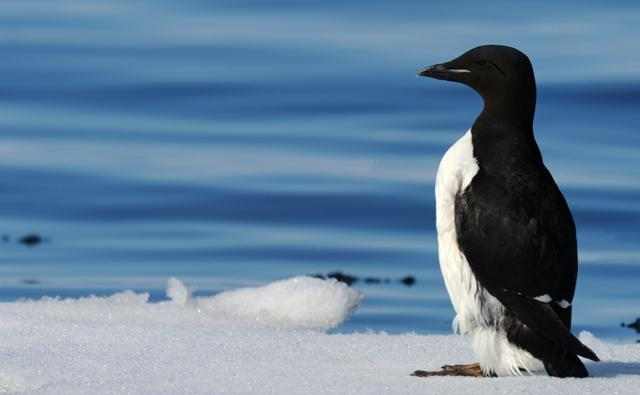 Thick-billed guillemot standing on ice