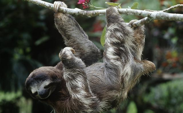 bbc nature three toed sloths videos news and facts