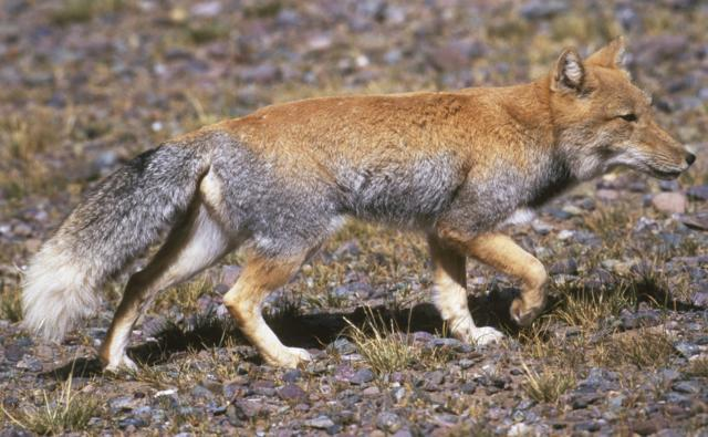 Tibetan fox walking on hard ground