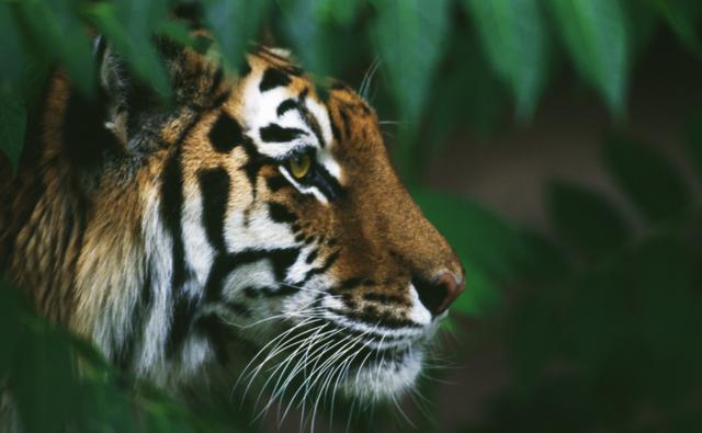http://ichef.bbci.co.uk/naturelibrary/images/ic/credit/640x395/t/ti/tiger/tiger_1.jpg