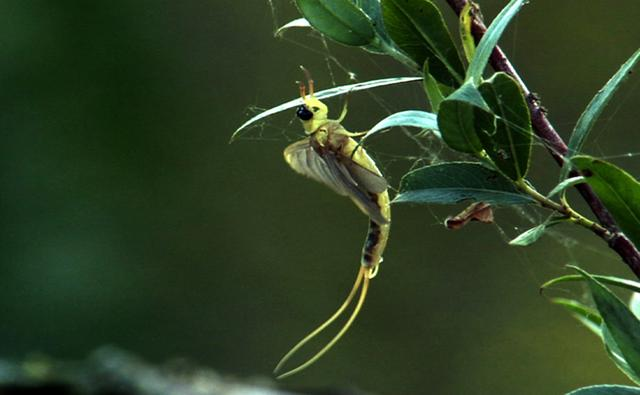 Tisza mayfly on a leafy branch