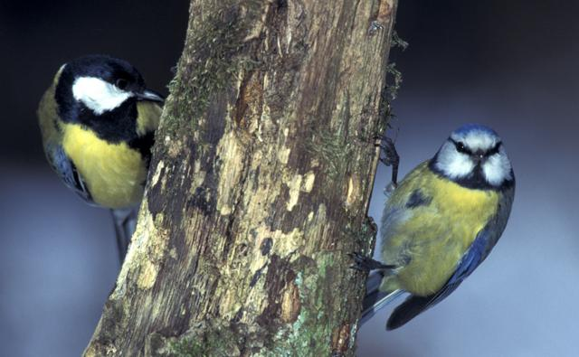 Great tit and blue tit on either side of a branch