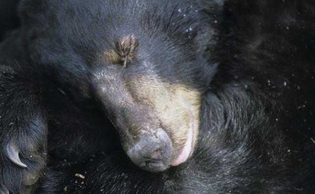 Close-up of a female black bear sleeping in den