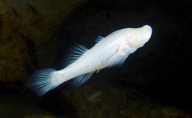 Blind cave fish swimming in a cave