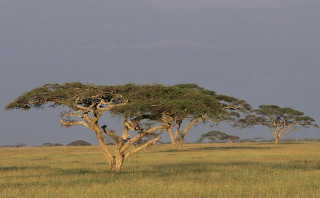 Acacia trees on the grassland of the Serengeti
