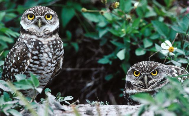 Two burrowing owls peering out from a leafy den site