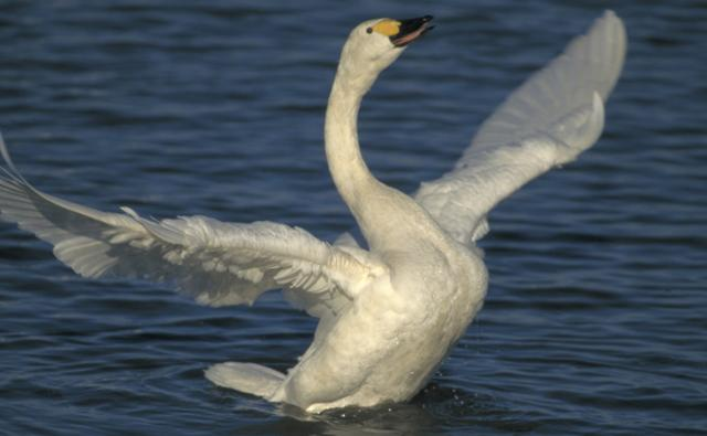 A displaying Bewick's swan