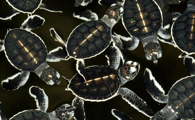 Green sea turtle hatchlings floating on water