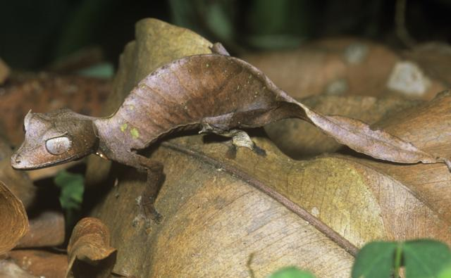 Satanic leaf-tailed gecko on forest floor