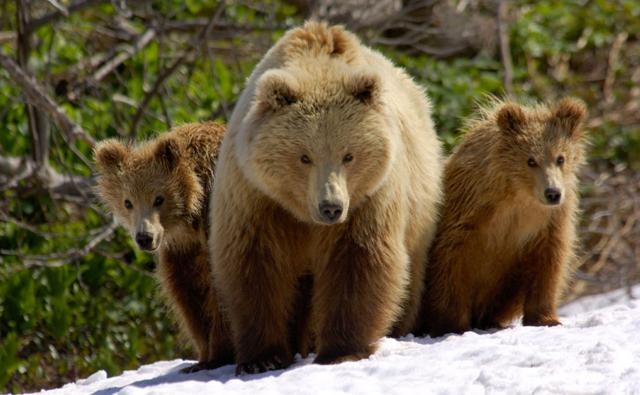 Brown bear mother and her cubs walking in a valley