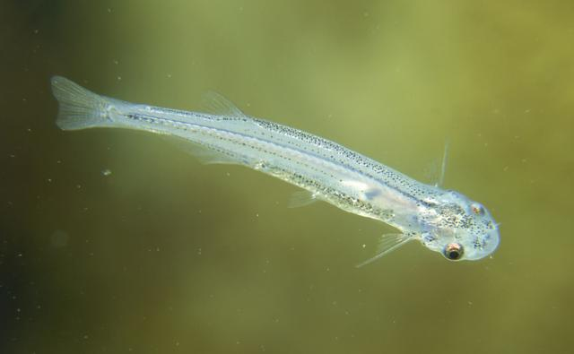 Bbc nature candirus videos news and facts for Freshwater fish parasite identification