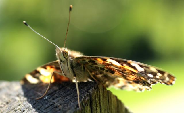 Painted lady on a post (c) Joshua Lamsdale