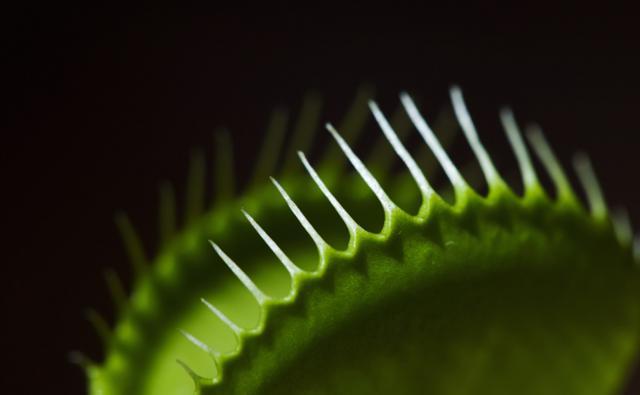 Close-up of a venus flytrap