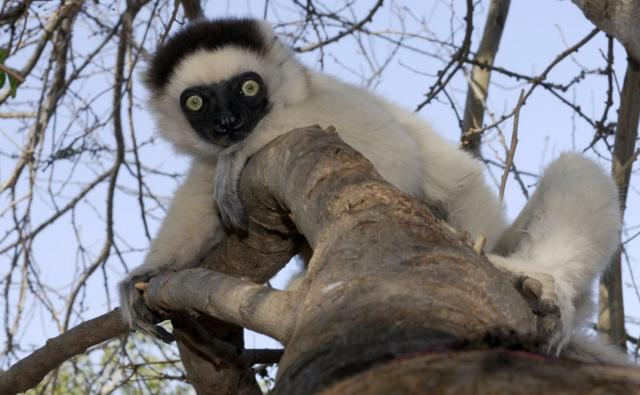 Verreaux's sifaka clinging to a branch