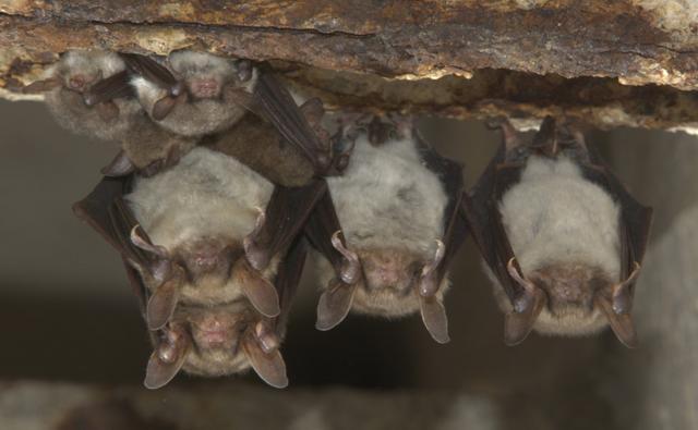 Greater mouse-eared bat and Natterer's bat roosting