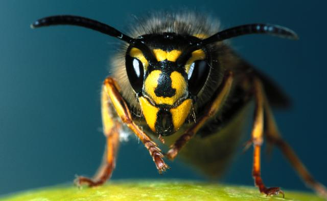 Head-on view of the common wasp