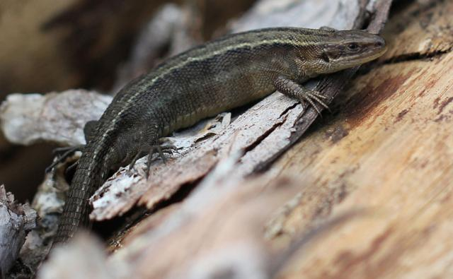 Common lizard on wood (c) Nicholas David