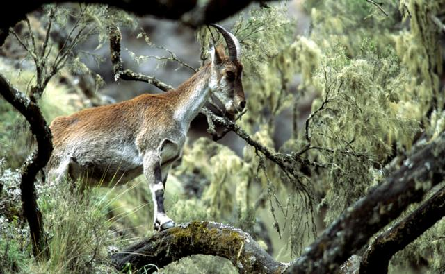 Walia ibex in Semien Mountain National Park
