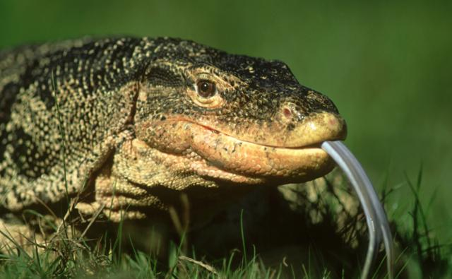 A two-banded water monitor