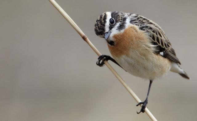 Whinchat perched on a stem
