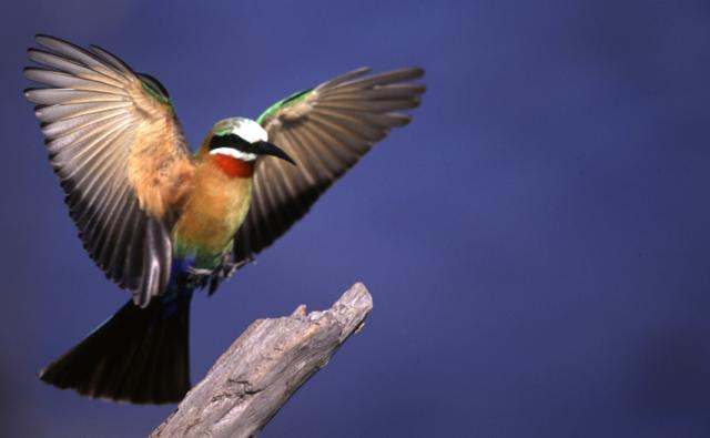 A white-fronted bee-eater landing on a perch