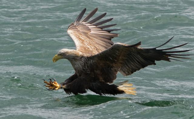 A white-tailed sea eagle in flight