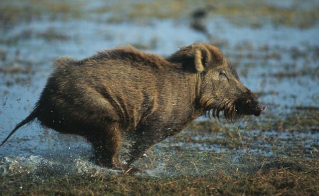 An Indian wild boar running