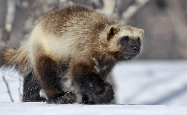 Wolverine walking through a snowy woodland