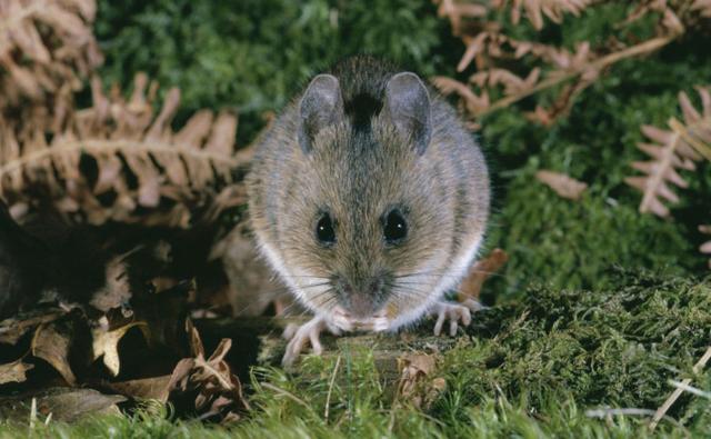 Wood mouse on woodland floor