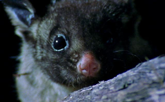 Close-up of a yellow-bellied glider at night