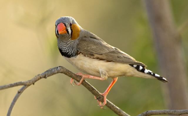 Male zebra finch on perch