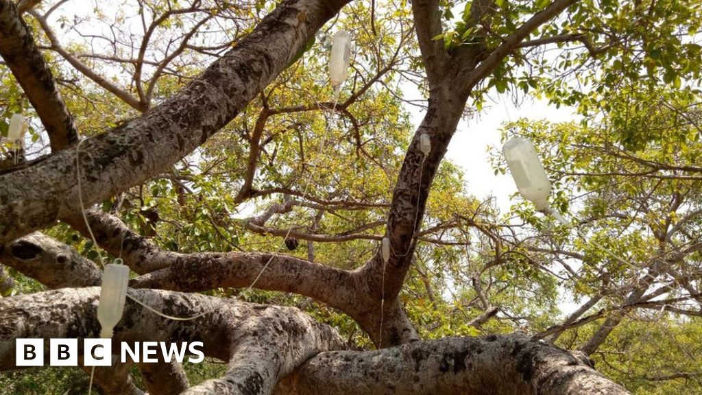 A 700-year-old banyan tree in the southern Indian state of Telengana has been put on special