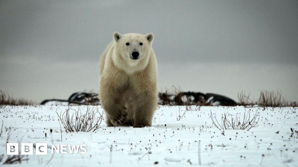 Hunter killed in attack by polar bear in Canada